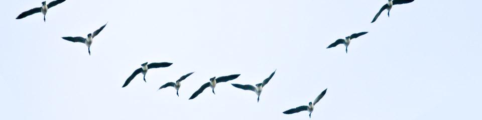 birds-V-form